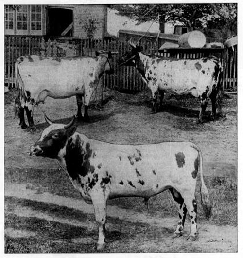 Image of three cows in association with an article about agriculture in Oregon from Ranch and Range, a newspaper from North Yakima, Washington, August 13, 1898.
